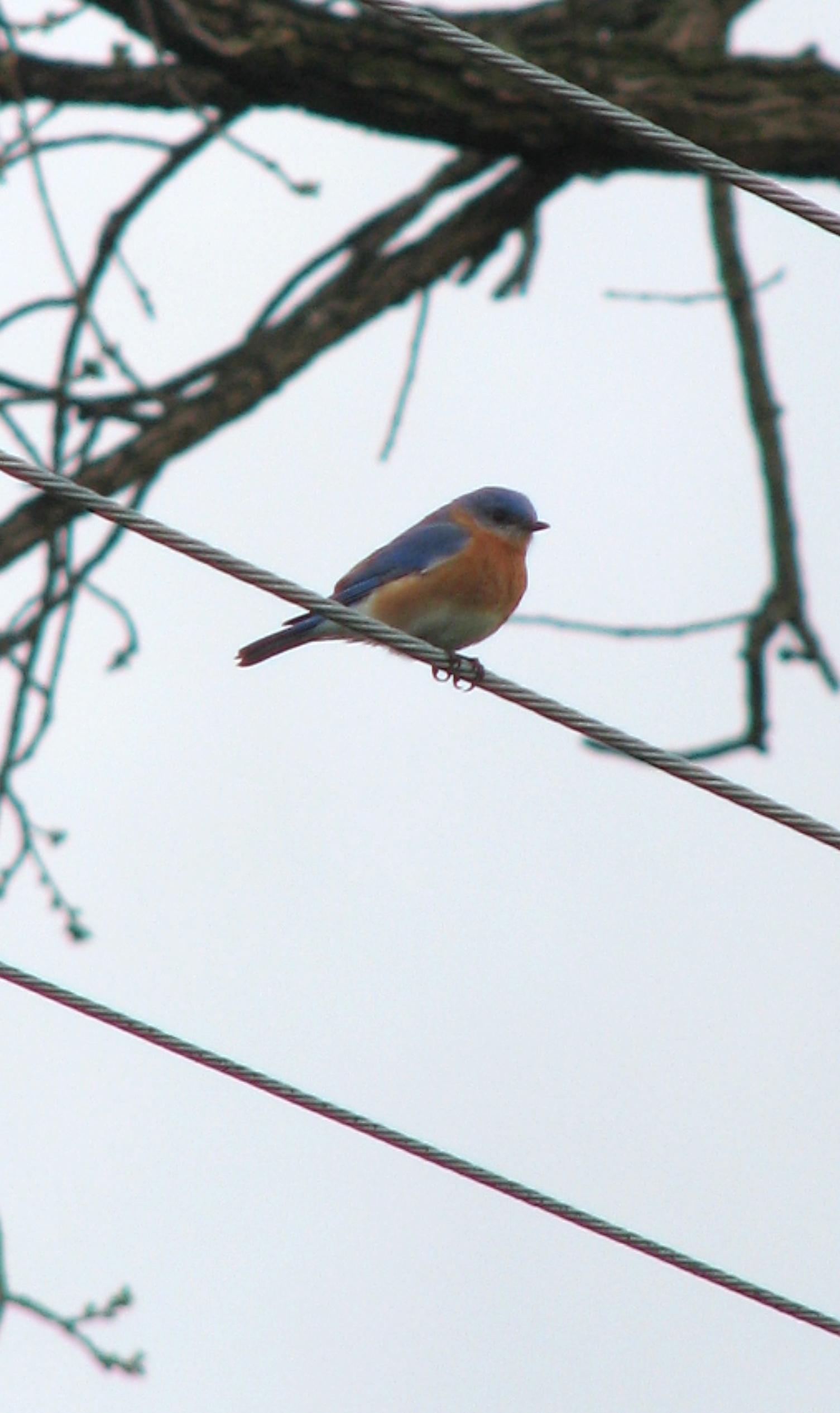 Bluebird on wire
