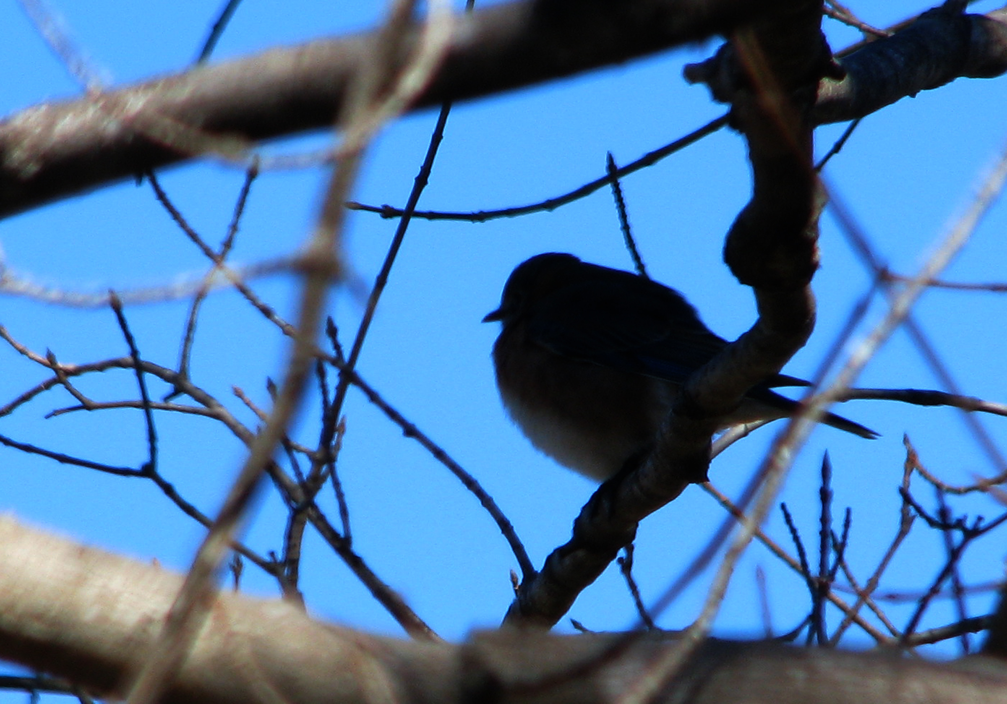 Bluebird silhouette