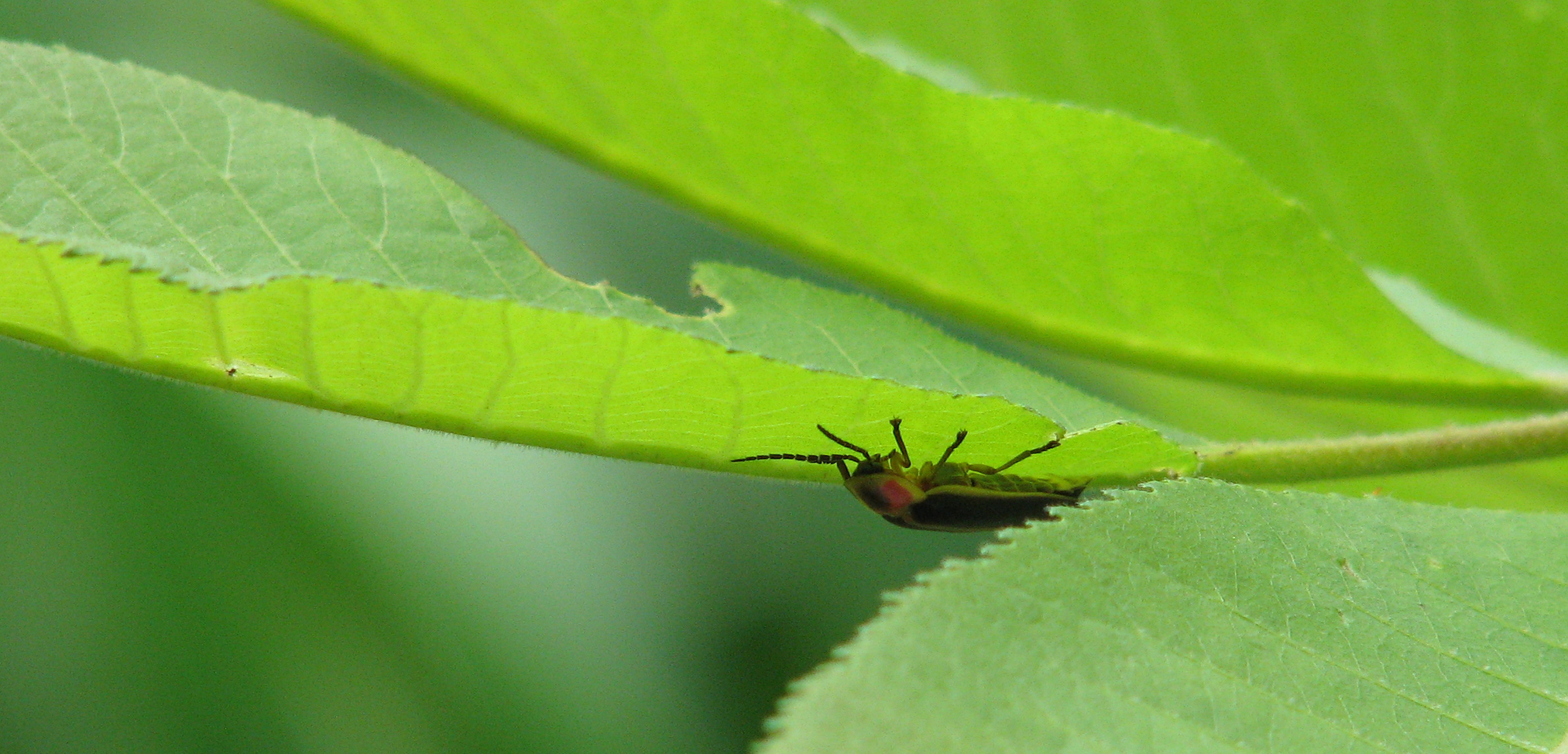 Firefly on leaves