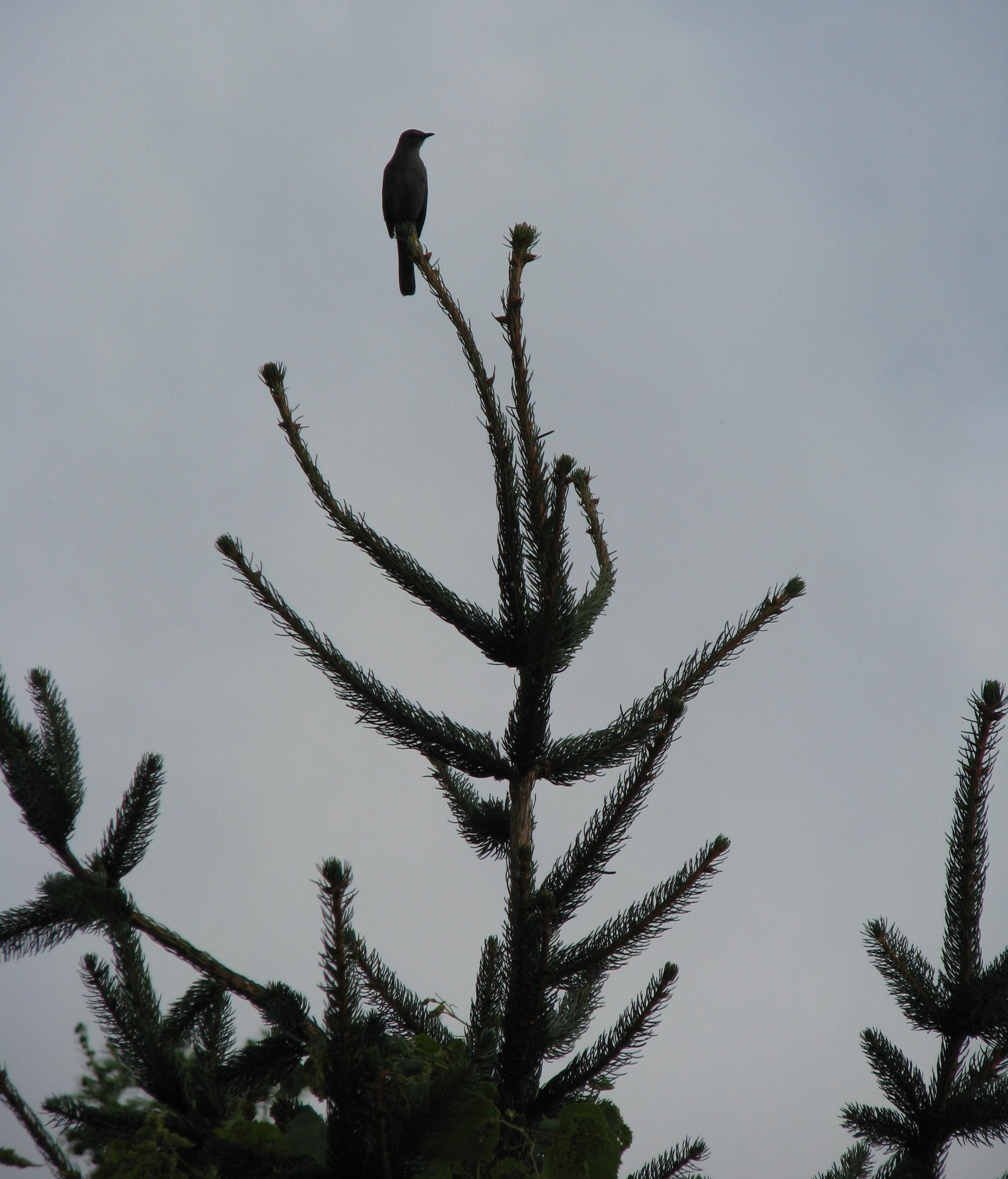 Menorah bird