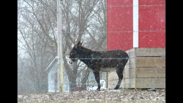 This critter seemed to be looking for a place to at least get out of the cold wind. The picture was taken along Casper Church Road near Anna Thursday, Jan. 5, while light snow was falling.