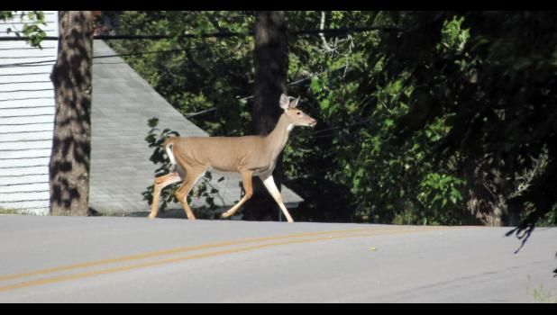 Why did the white-tailed deer cross the road? Obviously, to get to the other side. Well, that was how it seemed last Friday morning in metropolitan Alto Pass.