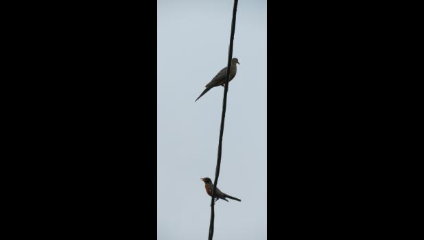 Birds on a wire...a dove and a robin did a little bit of a do-si-do on a utility wire on a summer evening last week...