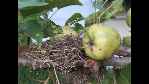 This pic shows the nest of the rare naked apple bird. The naked apple bird has evolved to look like a naked apple. Photographs of the naked apple bird are extremely rare. No, make that nonexistent. At least until now.