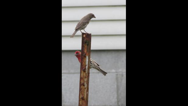 Even though there's not another election coming until 2020, this sure looked like a poling place. A pair of birds, finches perhaps, did a bit of a delicate balancing act on a metal pole.
