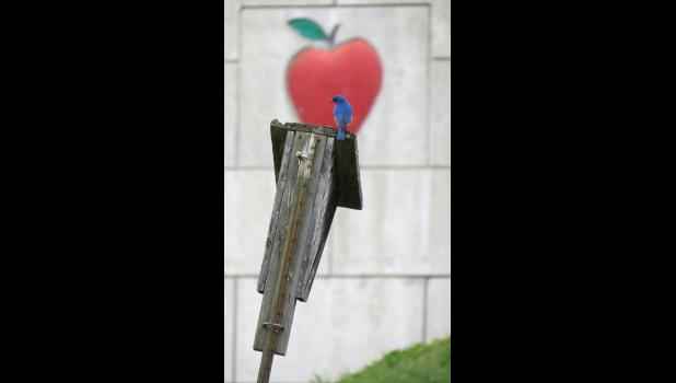 One bluebird...on a bluebird house...