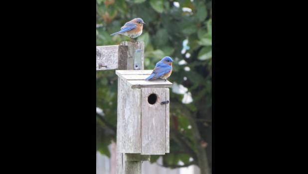 Two bluebirds...on a bluebird house.