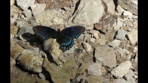 Believe it or not, this butterfly, with what appeared to have been a bite out of a wing, could still flutter by without too many problems.