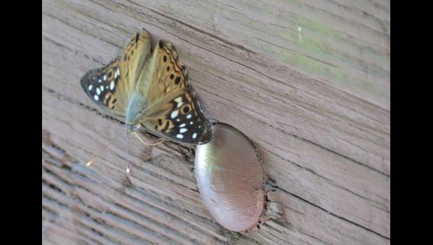 The butterfly flew away, and landed again on a nearby wooden bridge on a pathway.