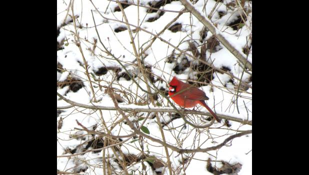 Freshly fallen snow served as a backdrop for a male cardinal which was seen last Sunday afternoon. The cardinal offers at least a bit of a hint that warmer weather might be on the way – the St. Louis Cardinals are in the midst of spring training, and the start of the 2019 baseball season just around the corner.