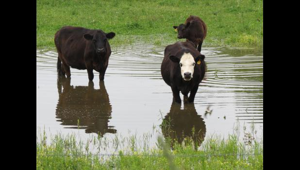 How now, wet cows? I know, that was way too easy, and way too cliche. Oh, well.