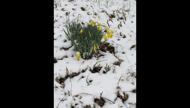 ...by Sunday afternoon, barely 24 hours later, fallen flakes of snow surrounded the daffodils...
