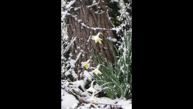 The same daffodils...on Monday morning...I missed an opportunity to get a pic of the flowers on Saturday morning, mainly 'cause I didn't get out before the snow which fell during the night had melted. Monday morning was a different story, mainly 'cause the snow was still falling...and falling...and falling...
