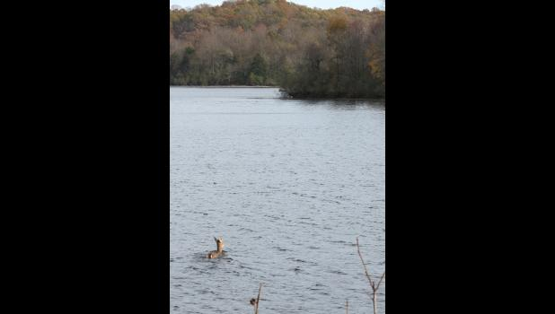 After a very brief encounter with a photographer, the deer decided that enough was enough...and went for a swim.