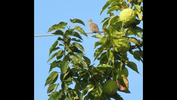 A dove was perched on a utility line near a hedge apple tree growing across the road from the Cliff View Park in Alto Pass.