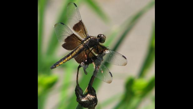 I can tell you that this is a picture of a dragonfly. I can also tell you that even though it's been unseasonably warm, I have not seen any dragonflies out and about. This is what we call a file photo.