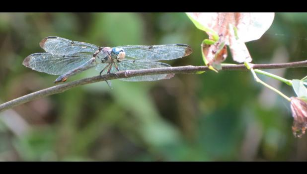 A dragonfly was kind enough to pose for a photo.