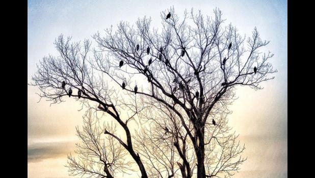 A fellow traveler on The Journey Through Life shared this picture of many bald eagles which were seen in a tree along Route 3 in Union County.