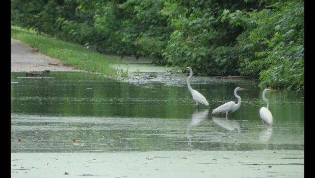 Egrets (well, I think they are egrets) might be creatures which actually are enjoying all of the rain we've been having. They were looking for mid-afternoon snacks last Friday on a water-covered portion of the Refuge Road at the Union County State Fish and Wildlife Area near Ware.