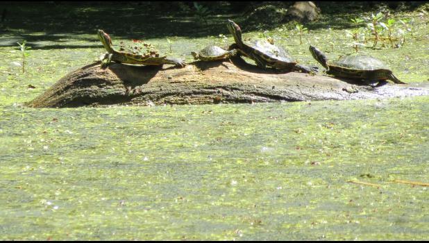 In closing for this week... four turtles on a log, basking in the summer sunshine...just long enough for a photo...now you see them...