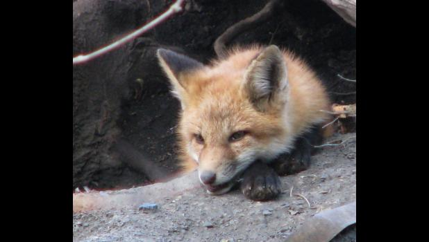A young fox did not seem to be bothered at all by a nosy photographer who kept taking his (her?) picture.