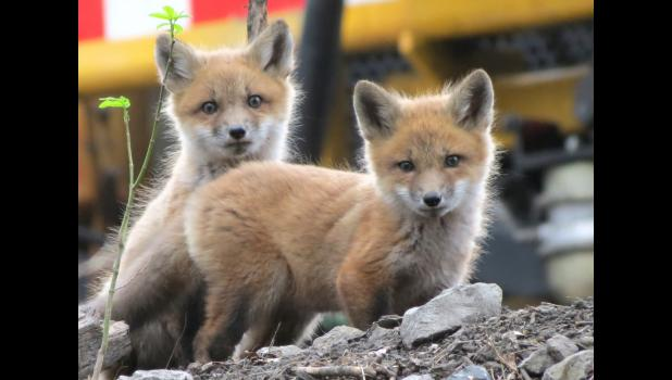 Aren't they cute? Sure they are. Spotted these young foxes while wandering around last Friday evening. Don't really want to say where we saw them.