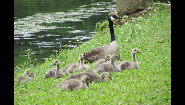 May 16. Canada geese. At a pond in Union County.
