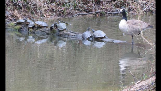 "Normal? Can't tell you the answer to that one. ""Normally,"" I would not expect to see turtles and Canada geese hanging out together on a log, but, there they were. Social distancing, however, did not seem to be a concern for these critters."