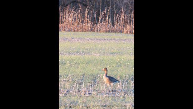 A lone goose was spotted on December 31 in a field at the Union County State and Fish and Wildlife Area.