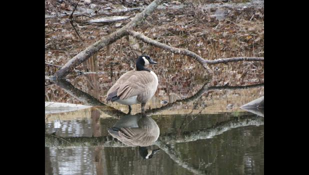 The image of a Canada goose was reflected in the calm water of a pond on a cold winter morning in a natural setting in Jonesboro.