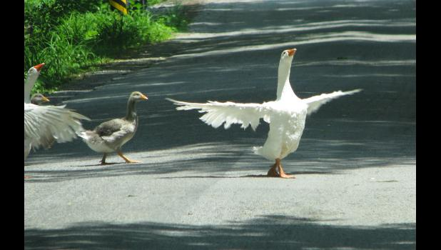 Some feathered fowls went on a journey which took them across a rural road near Cobden on a recent sunny afternoon.