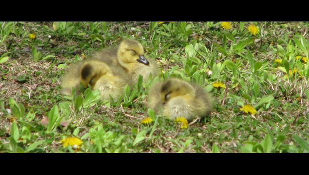 Aren't they cute? And, just why are little baby gooses called goslings? Seems like one baby goose could be a goosling. And a bunch of baby gooses could be gooslings. Or, at least, geeslings.
