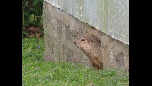 Peekaboo: A groundhog/woodchuck was taking a look around from a nifty hiding place, and was kind enough to hang around for a picture, or two, or three...