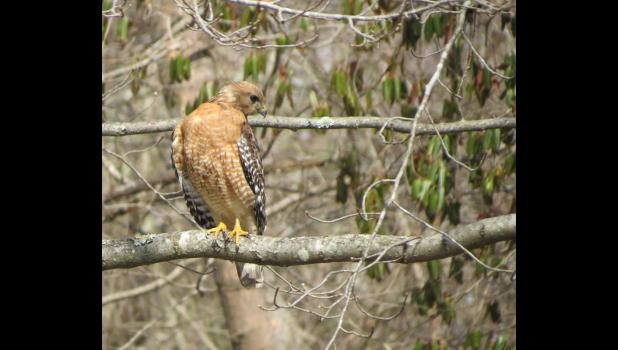 March 21. Hawk. Somewhere in Union County.