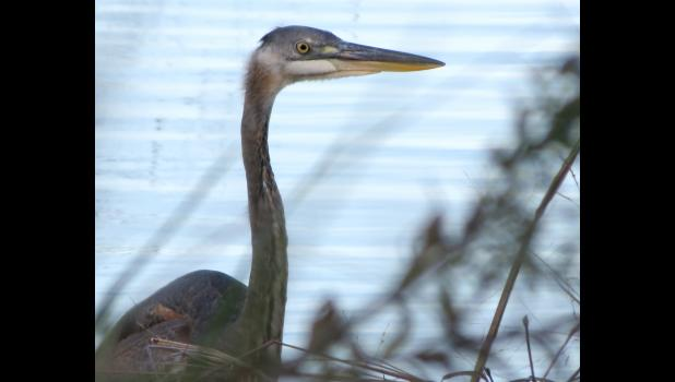 "A heron stood, nearly motionless, in water near the spot where the ""dramatic"" photo was taken along Kaolin Road."