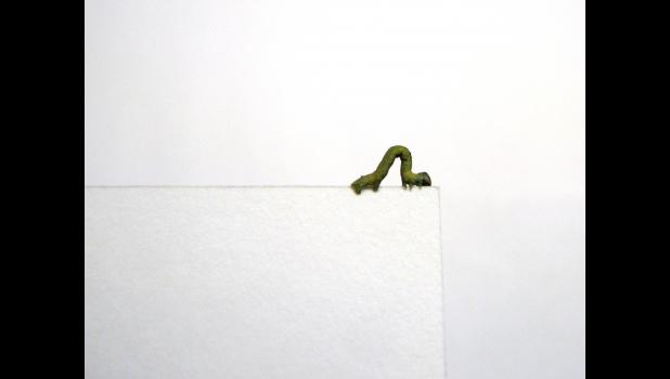 Now what? An inch worm paused and may have been pondering its next move while living on the edge one afternoon last week. The critter was wandering around on the writer's desk.