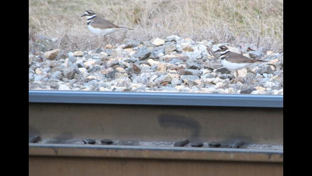 A pair of killdeer (or maybe a pair of killdeers) were seen walking along, and on, the railroad tracks in metropolitan Cobden on a cold January afternoon.