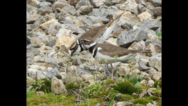 Look...two killdeers. Or do we say two killdeer? After all, more than one deer is not two deers. Or is they? Please ponder this hum drum conundrum. Or not.