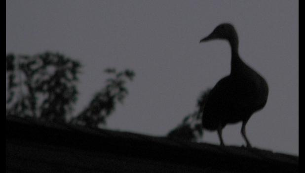 Whistling a happy tune? This high quality image is the silhouette of a black-bellied whistling duck. Really. It is. But you probably knew that. Right?