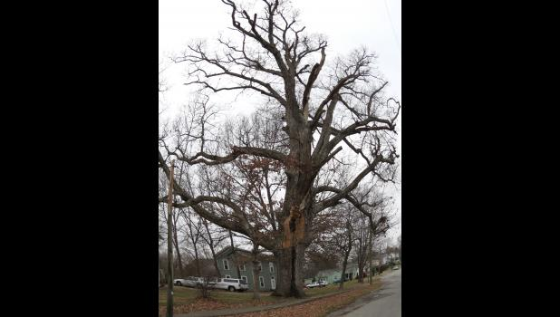 """This is the """"majestic"""" tree mentioned in the accompanying word salad. If memory serves me correctly, and there is no guarantee of that, it's an oak tree..."""