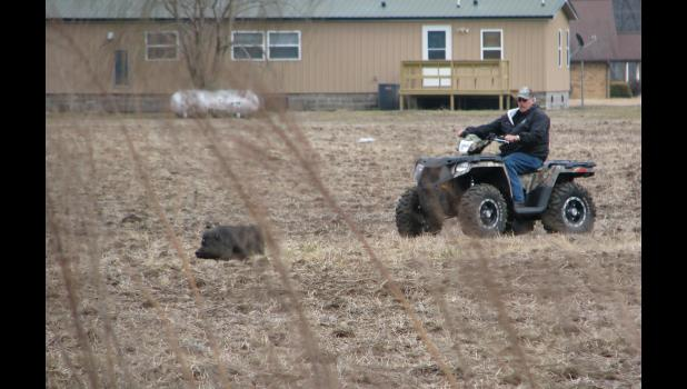 Union County animal control officer Derk Wright worked to round up the elusive critter during a pursuit last week in bottomlands near Ware.