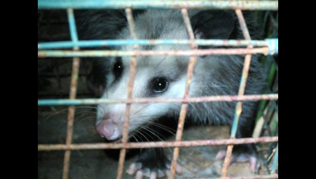 A face only a mother could love...a possum ended up in a live trap in our backyard one night last week. A possum was not what we had planned to catch. Important message: No animal was harmed during the taking of this photograph.