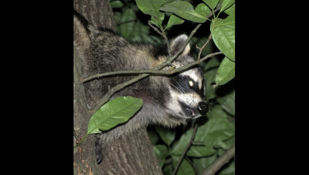 A zombie raccoon, no doubt with evil intentions, glared at the photographer, who interrupted an evening sojourn in an oak tree.