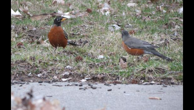 Two robins were engaged in a standoff one evening last week near, and on, a sidewalk in Anna. The two birds put on quite a display.