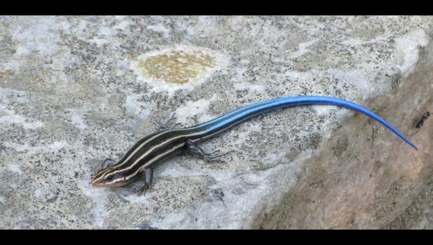 A blue tailed skink was enjoying the warmth on some rocks at the time this photograph was taken. And, yes, the critter's tail really was blue.