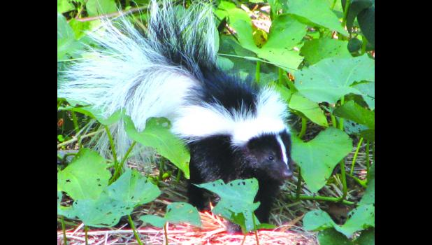 "Isn't it cute? A skunk paid a visit to our little corner of the world a few years ago. Truth be told, they are kind of cute... This, by the way, is what we refer to as a ""file photo."" The photographer would like to think that he has more ""old-fashioned"" common sense than to go out in the dark looking for a skunk...read on to find out what we're talking about..."
