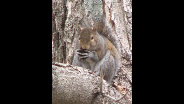 Squirrel. Sciurus carolinensis? Rodent. Cute? Of course, in a rodent sort of way.*