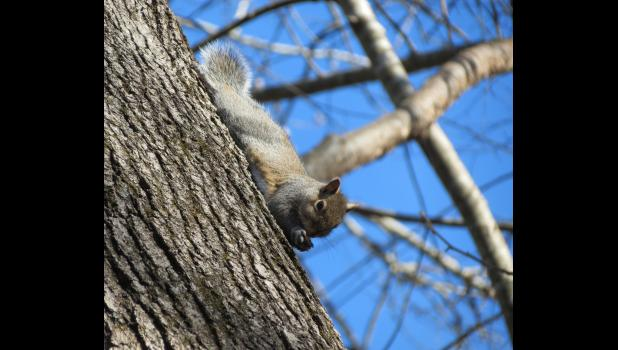 Lurking in a tree top: a squirrel, with malicious intent likely on its mind, appeared to have some sort of projectile in its paws...just waiting for the right moment to drop it on an unsuspecting passerby...