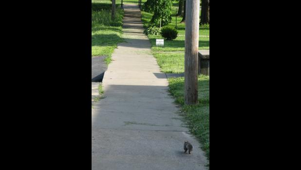 A squirrel was going on a walkabout one afternoon recently in Cobden.