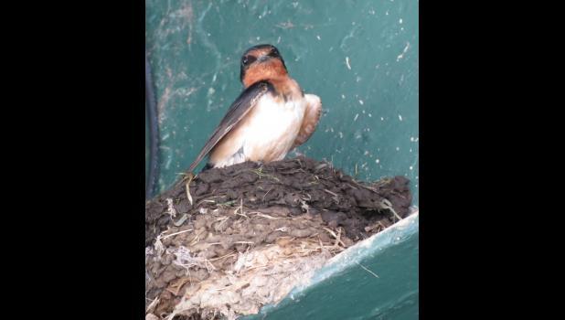 A bird...a swallow, we believe, in its nest...